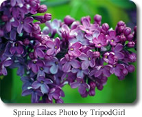 Spring Lilacs by Tripod Girl
